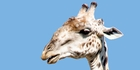 The giraffe is just one of the creatures you might meet on a walking safari. Photo / AP