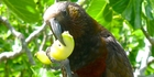 The hungry Kaka. Photo / Neil Stitchbury