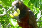 The hungry Kaka. Photo / Neil Stitchbury