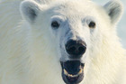 A healthy female polar bear in North Spitsbergen, Norway. Photo / Getty Images