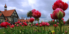 Tulips in Government gardens. Photo / Supplied