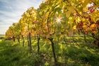 Study shows wine's allure all in microbes