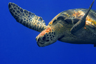 Green turtle. Photo / Getty Images
