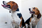Two beagle puppies called Tiangou and Hercules were created to be extra muscular by deleting a single gene called myostatin. Photo / Supplied