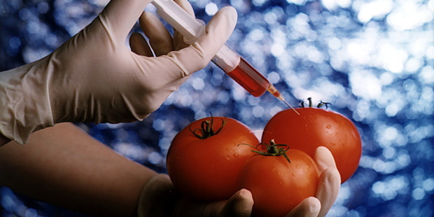 GM tomatoes could fight disease