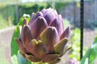 Artichokes are a colourful and striking addition to a summer garden.