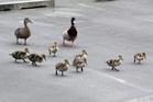 Duckling alert.