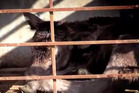 Video footage showed the mistreatment of bobby calves. Photo / Supplied