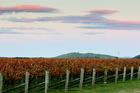 Delegats vineyard, Matapiro Road, Crownthorpe. Hawke's Bay Today photograph by Warren Buckland