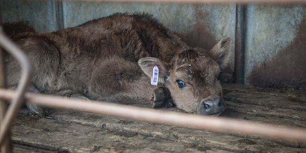 A graphic video has exposed the mistreatment of calves. Photo / Supplied