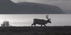 Watch: Reindeer in Norway