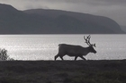 Sami reindeer herders in Norway are concerned about the impact of climate change on their animals but as the Herald's Grant Bradley discovers, renewable energy projects in reindeer territory pose a new risk - flying ice from wind turbines.