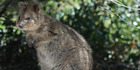 A quokka on Rottnest Island, Western Australia. Photo / Supplied