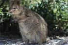 A quokka on Rottnest Island, Western Australia. Photo / Supplied