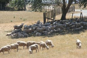 Sheep sheltering from the sun on Te Parae Rd, Masterton District. WAG 12Jan15 - HOT: Sheep seek shelter from the sun as temperatures reach 29C on Friday. PHOTO/ANDREW BONALLACK WAG 27Jan15