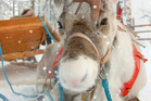 With BBC's slow TV special, viewers can experience a sleigh ride with reindeer from the comfort of their living room. Photo / iStock