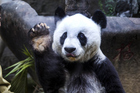 What is love? Panda don't hurt me, don't hurt me, no more. Photo / Getty