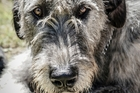 An Irish wolfhound similar to the ones that attacked the newspaper delivery woman in Dunedin. Photo / iStock