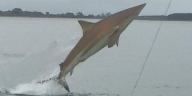 Loading Elliot Gordon and his mate Paul Adlington were fishing for snapper on Christmas Eve when this bronze whaler shark appeared. Photo / Elliot Gordon