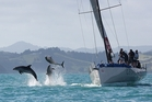 Dolphins take to the air as they swim past the keeler Georgia during Bay of Islands Sailing Week earlier this year. Photo / Will Calver Ocean Photography