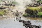 Wildebeest migrate across the Serengeti. Photo / Getty Images