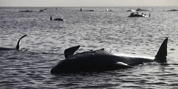 The whales are stranded on Farewell Spit at Golden Bay, near Nelson. Photo / Tim Cuff