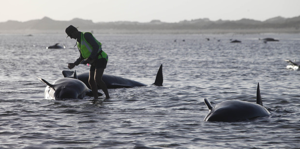 The cause of strandings is a mystery. Photo / Tim Cuff