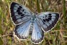 Large Blue Butterfly. Photo / Wikimedia