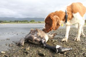 A dog sniffs at a dead goose washed up at the reserve at the northern end of Lake Wairarapa, shot during a cull of geese by farmers. PHOTO/ANDREW BONALLACK