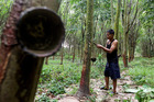A farmer demonstrates rubber tapping at a rubber farm in Rayong province, Thailand. Photo / Bloomberg