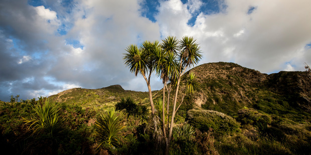 The flowering habits of cabbage trees will now be keenly watched by weather watchers. Photo / Richard Robinson.