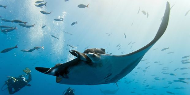 Attracting giant manta rays is like a science fiction scene. Photo / 123RF