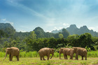 Free roaming elephants at Elephant Hills, Thailand.