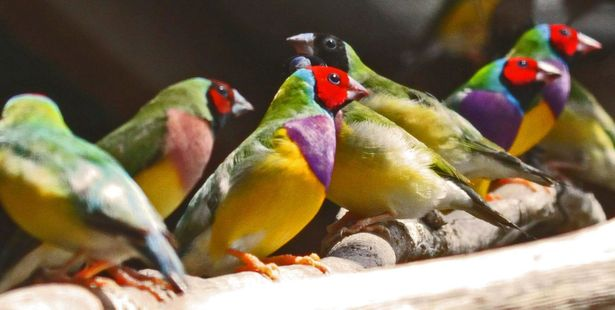Gouldian finches. Photo / 123RF