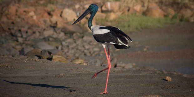 A Jabiru. Photo / 123RF