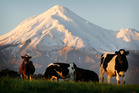 On the back of good grass growth, Dairy NZ revised its break-even point for most dairy farmers down to $5.25 per kg of milk solids. Photo / Christine Cornege