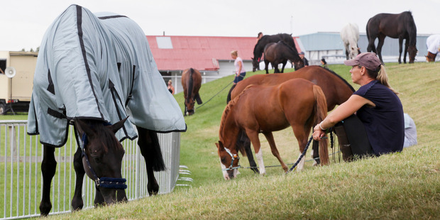 MUNCH TIME: A couple of horses are given time to munch on the luscious grass at the Hawke's Bay Showgrounds, Hastings, yesterday afternoon. PHOTO/Warren Buckland