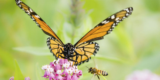 The first global assessment of creatures that pollinate crops found up to two in five are sliding towards extinction. Photo / iStock