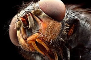 Housefly. Photo / George Novak