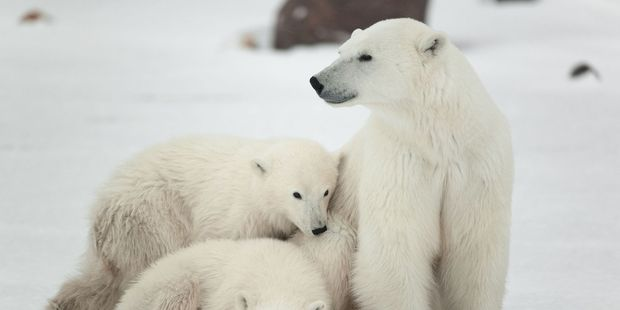 The lounge was buzzing because polar bears are also way at the top of what passengers on an Arctic expedition cruise want to see.