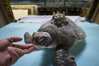 A rehabilitated green turtle at Kelly Tarlton's Sea Life Aquarium is satellite tagged in preparation for its release back into the wild. Photo / Richard Robinson