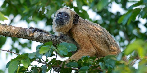 A Black Howler monkey. Photo / 123RF