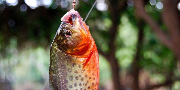 Piranha fishing in the Amazon River. Photo / 123RF