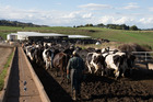 Dairy cows make their way to a milking shed at a farm that supplies to Fonterra. Photo / Brendon O'Hagan