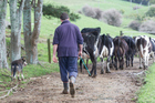 Dairy farmers will be demoralised with the latest Fonterra payout reduction, Rural Support Trust secretary for Northland Julie Jonker says.
