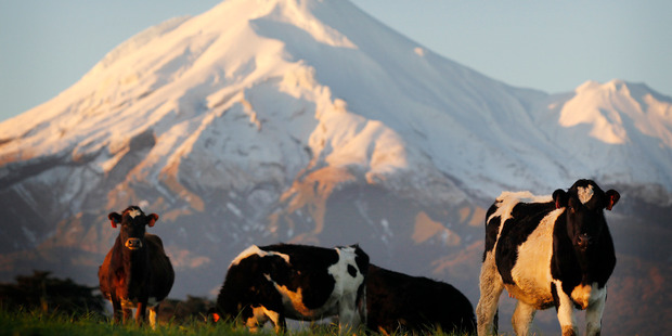 Lengthy negotiations are set to take place between banks and dairy farmers. Photo / Christine Cornege.