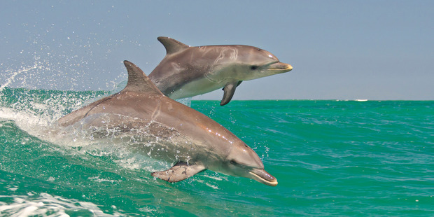 Dolphins were used during the Cold War for tasks such as detecting submarines and underwater mines. Photo / Supplied