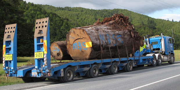 Figures show exports in kauri jumped by more than 2500 per cent in five years. Photo / Peter de Graaf