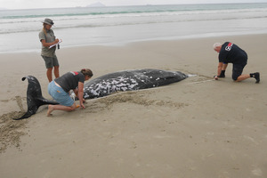 One of three whales which stranded on Ruakaka Beach. PHOTO/Imran Ali