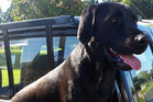 Bella, the black labrador, who found herself a long way from home.